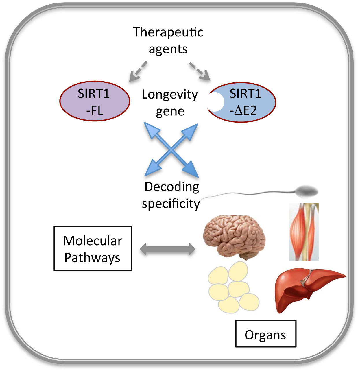 SIRT 1 GENE & how it Works Within the Body...